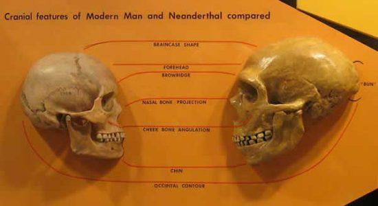 Différences Néandertal Homo Sapiens